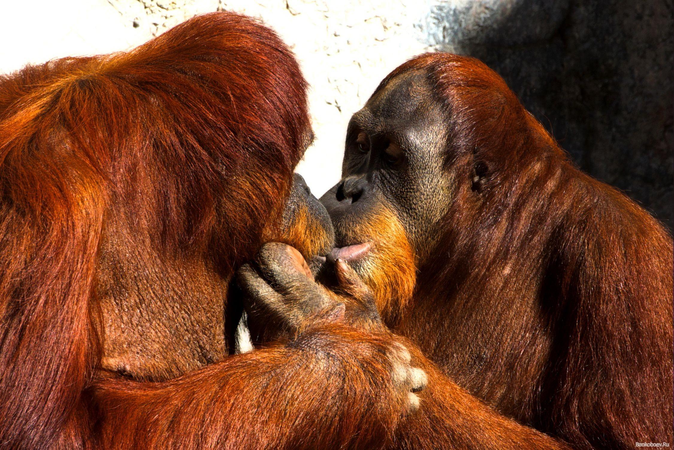 Поцелуй обезьян